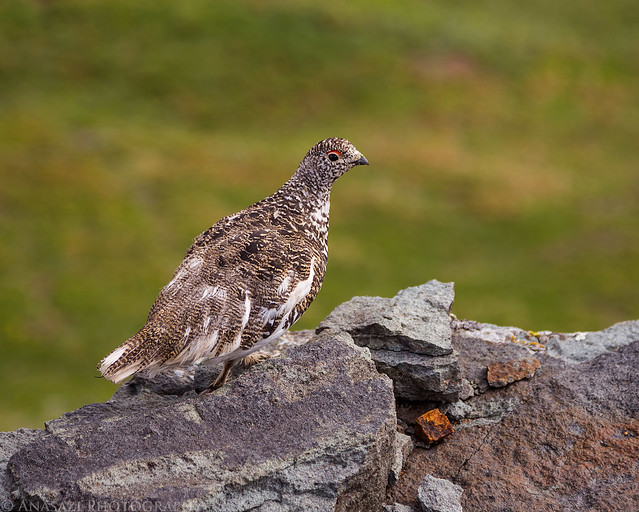 Friendly Ptarmigan