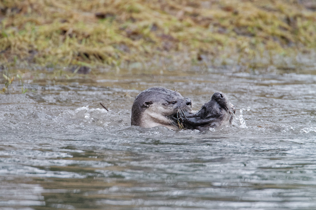 Two river otters play in Bower Slough