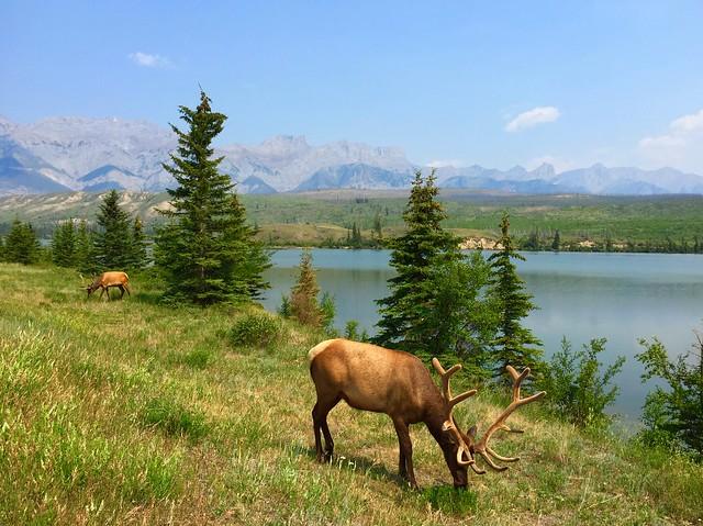 Two bull elk with velvet antlers