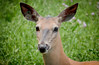 White-tailed Deer by Photography And Artwork of Melissa McCarthy