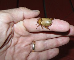 Grapevine Beetle, Pelidnota punctata , 7-12-15