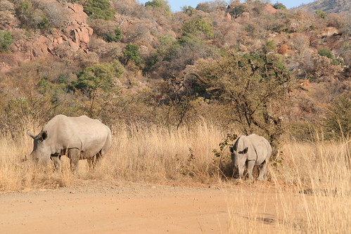 Momma and Baby Rhinos