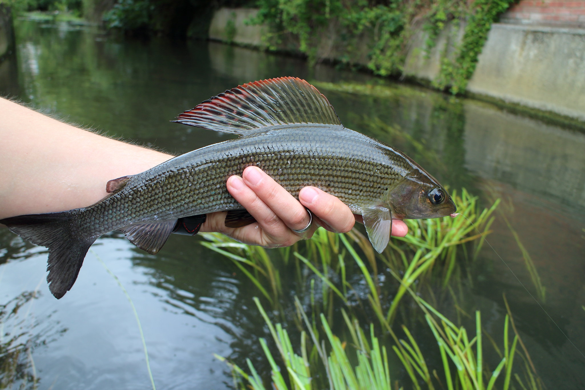 Superb Male Grayling