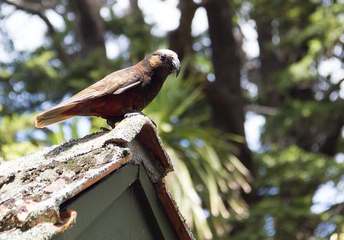 New Zealand parrot (KaKa)