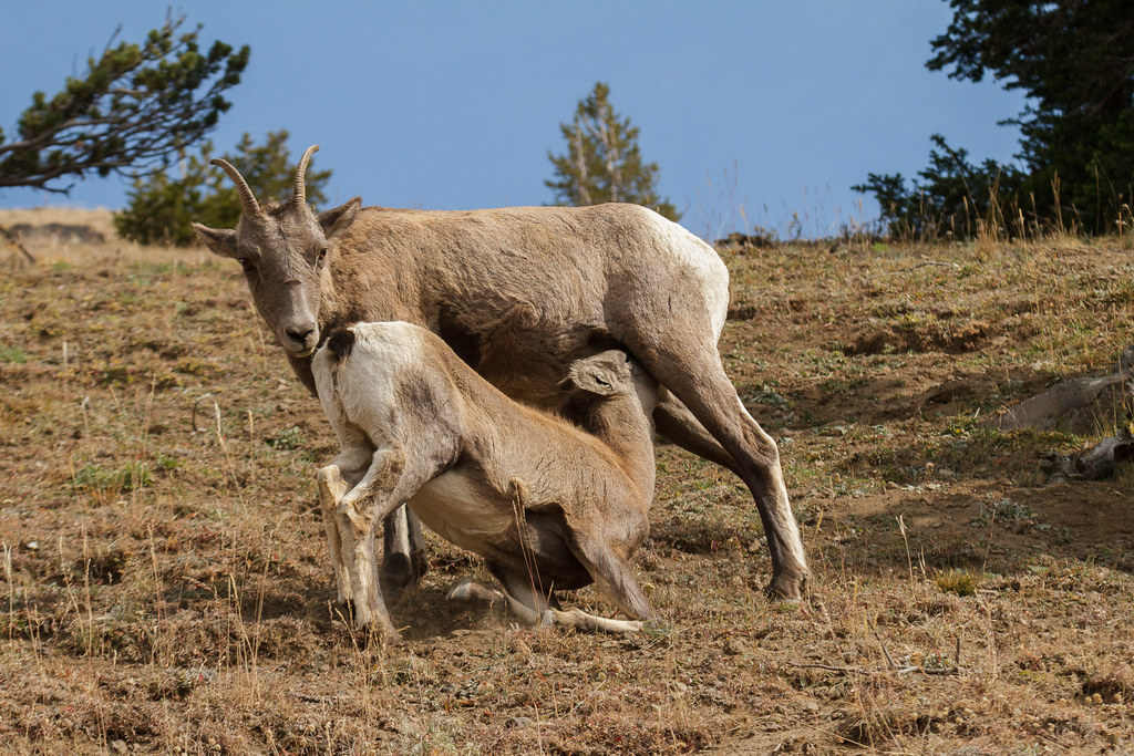 A bighorn sheep cow nurses her calf
