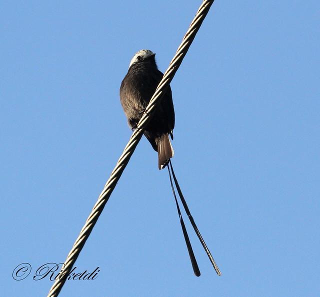 Birds on a wire series / OIseau sur un fil série de 3 (2 of 3)