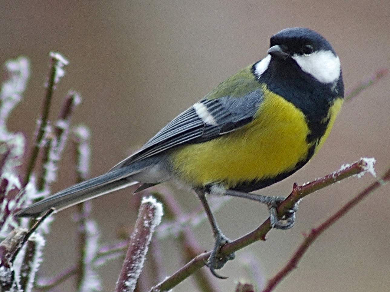 Great Tit. Credit Max Westby