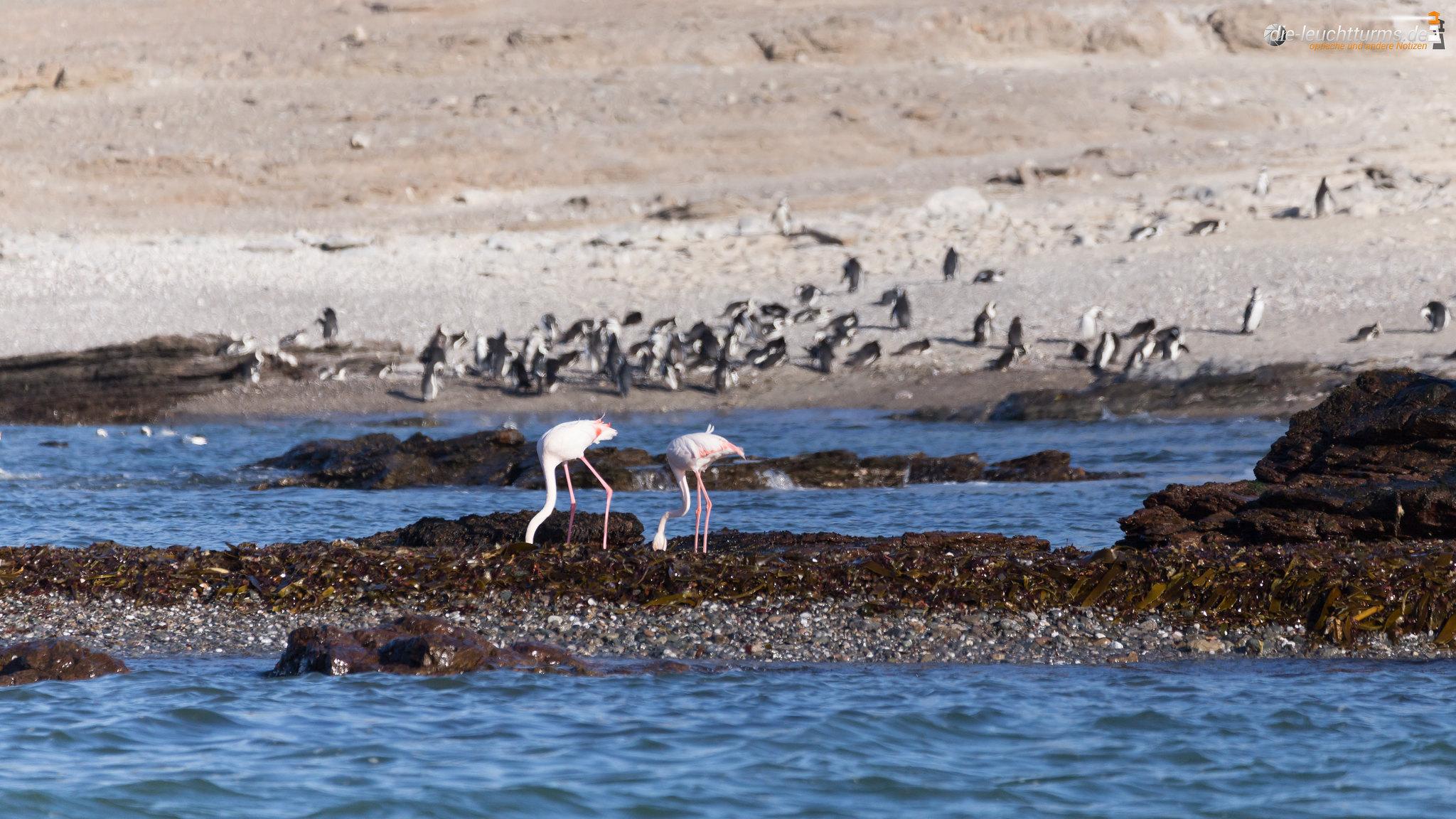 Flamingos and Gentoo penguins