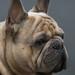 A Special Bulldog by rivadock4