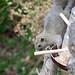 2017/02/17 (金) - 10:33 - 隣家の鳥のエサ台からちゃっかり食べている