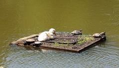 Turkey (Istanbul arboretum)- Duck and water turtles, taking a sunbath on the raft