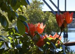African Tulip Tree (weed)