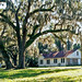 Live Oaks Draped with Spanish Moss, Hernando