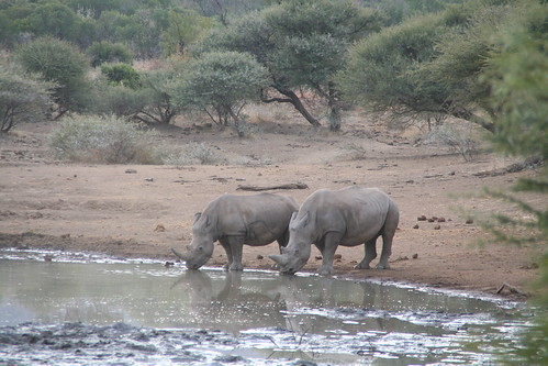 More rhinos! at the watering hole