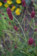 SANGUISORBA tenuifolia 'Bordeaux'