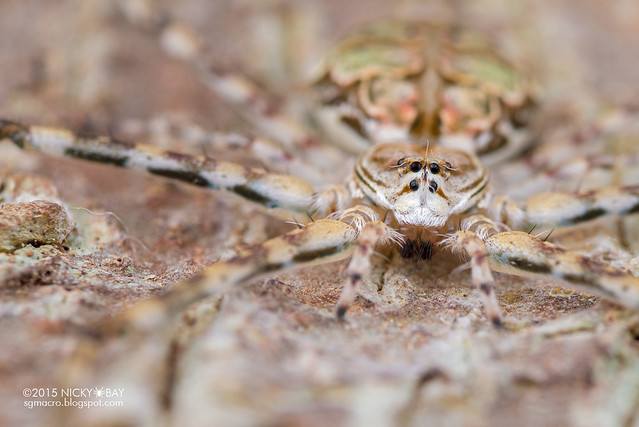 Two-tailed spider (Hersiliidae) - DSC_5613
