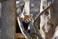 Red Panda at Smithsonian's National Zoo 2016-11-13