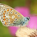 Common Blue (polyommatis icarus) by Robertoboy - Creative Nature & Wildlife