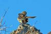 Banded Kestrel, Ifaty, Madagascar
