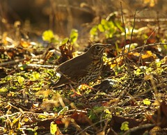 Holdersong thrush on forest floor (1)