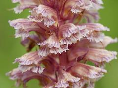 Broomrape (Orobanche sp.)
