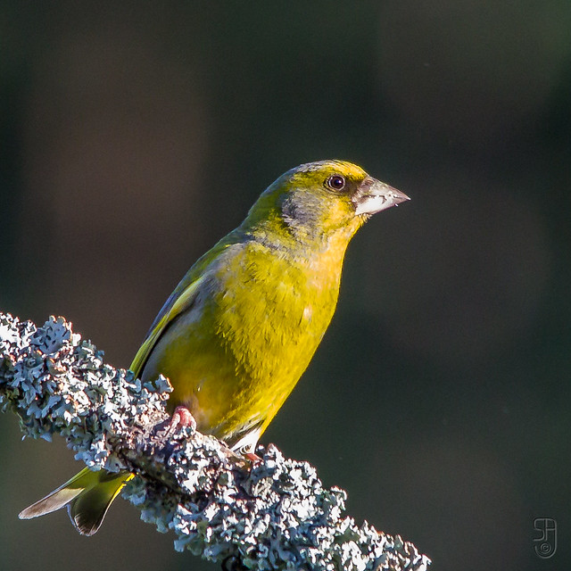 European Greenfinch (Carduelis chloris)-6939