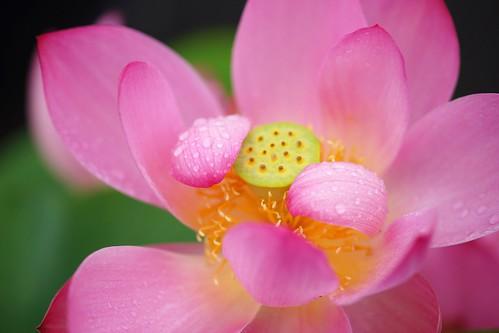 flower nature osaka apan 蓮 はす 長居植物園 nagaibotanicalgarden nelumbonucifera awesomeblossoms ハス科ハス属 sacredwaterlotus 20150704dsc06676