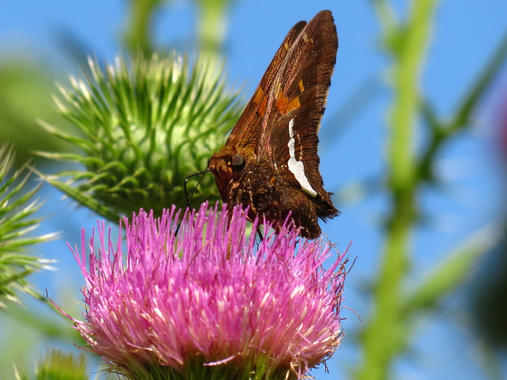 Silver-spotted Skipper on a Thistle Plant