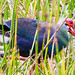 Gray-headed Swamphen - Photo (c) BJ Stacey, all rights reserved