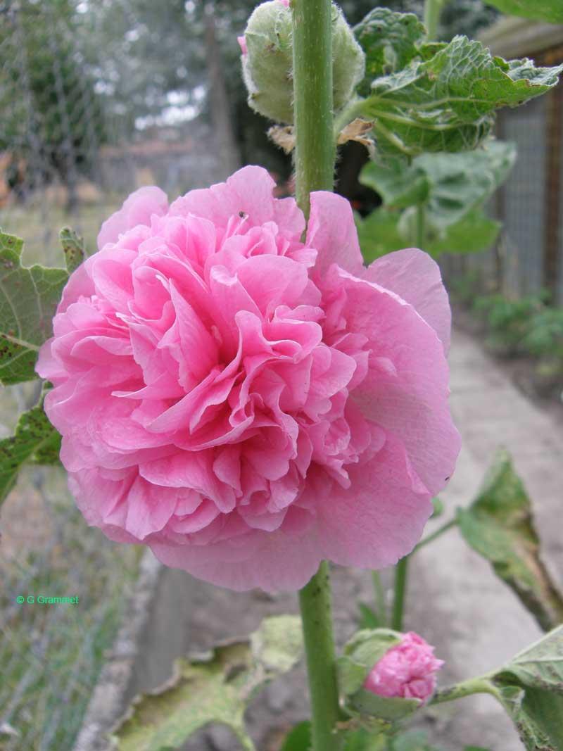 alcea-roze-dubbel