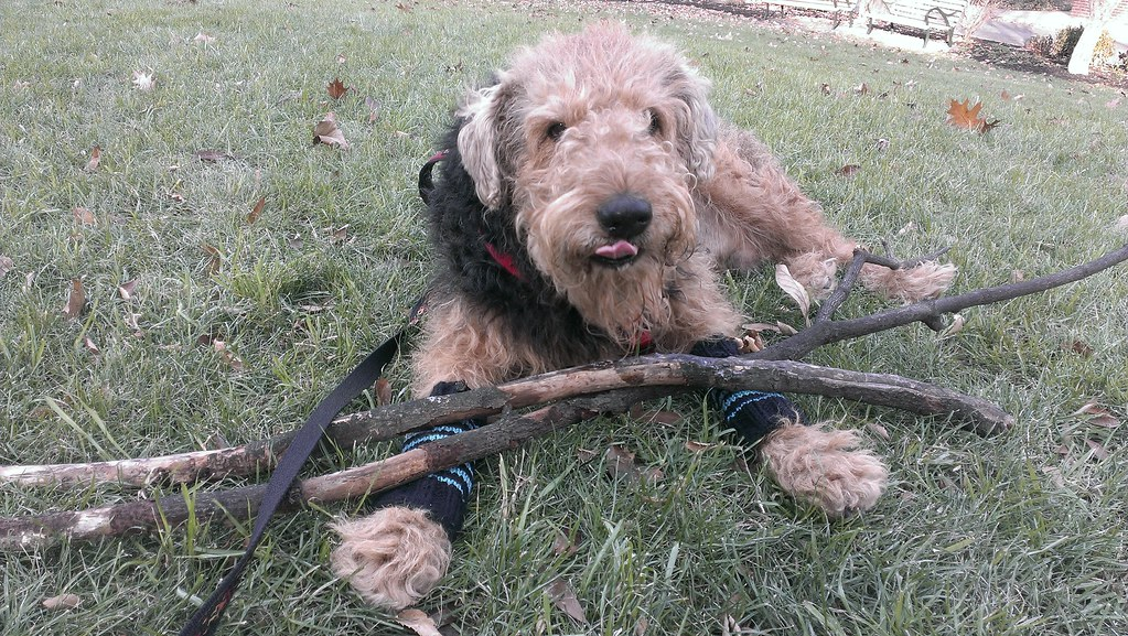 An Airedale Terrier and his Sticks