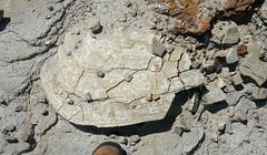 Platyceramus platinus inoceramid bivalve in chalk (Smoky Hill Chalk Member, Niobrara Formation, Upper Cretaceous; Castle Rock chalk badlands, south of Quinter, Kansas, USA) 7