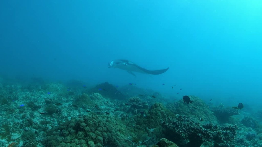 Stunningly graceful; 3.5 m manta ray - Manta alfredi #marineexplorer