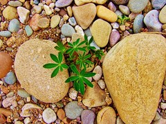 Lupin growing on beach at Spey Bay