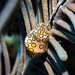 Flamingo Tongue (Cyphoma gibbosum) by Joey Jojo