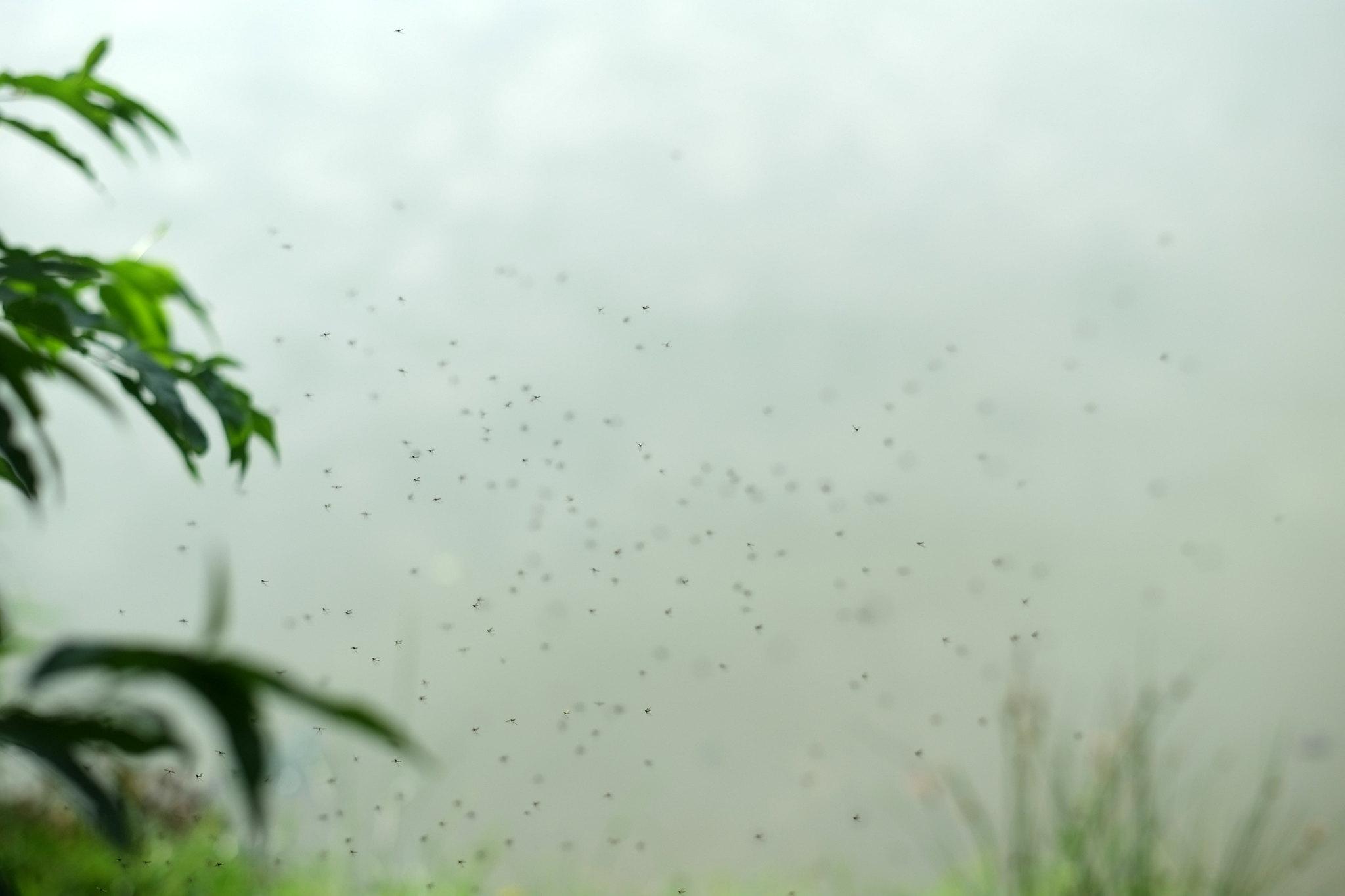 Eintags-Mücken