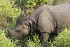Panzernashorn / Indian rhinoceros