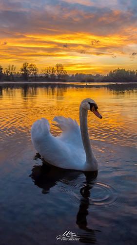 mobile wallpaper pozadina cellphone cellular background hrvatska croatia swan labud jezero lake orešje sunset zalazak colorful beautiful nature clouds water reflection nikon