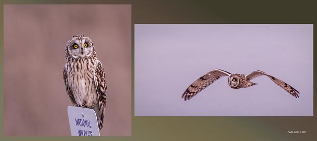 Short Eared Owl   ....(best enlarged)