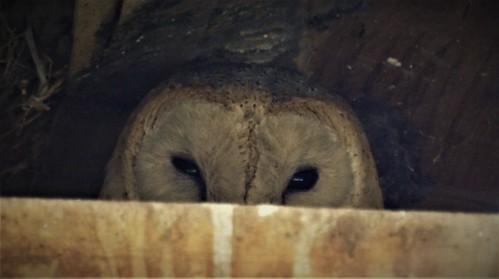barn owl tyto alba bird kenya njoro chouette effraie