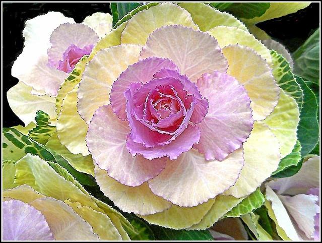 Ornamental Brassica..