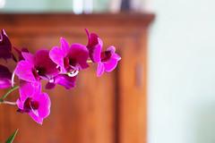 Dendrobium.