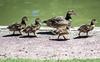 Duckies are making a break for it!
