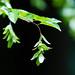 Small photo of American hornbeam