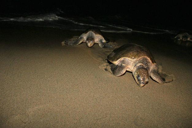 Registran primera arribada del año de tortuga golfina a Playa Morro Ayuta, Oaxaca