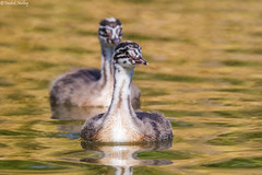 Great Crested Grebes Juvenile