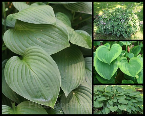 hosta collage