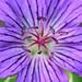 Geranium x magnificum by pj-makrofotografie
