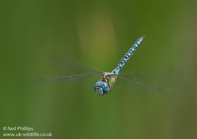 Southern migrant hawker-3