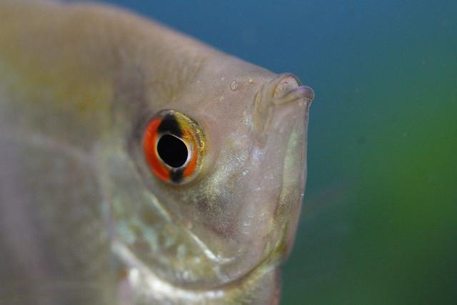 Header of angel fish